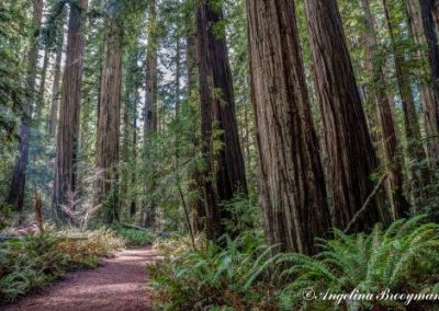 #1 Redwood Forest by Angelina Brooymans