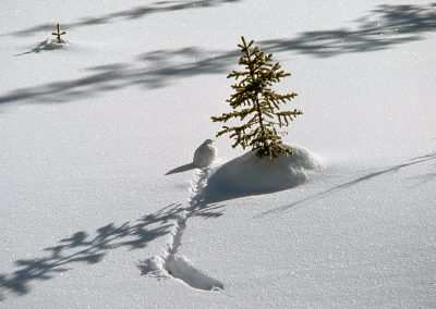 #8 Ptarmigan in Winter by Allan Fedorak
